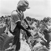 Tobacco picking - Library of Congress